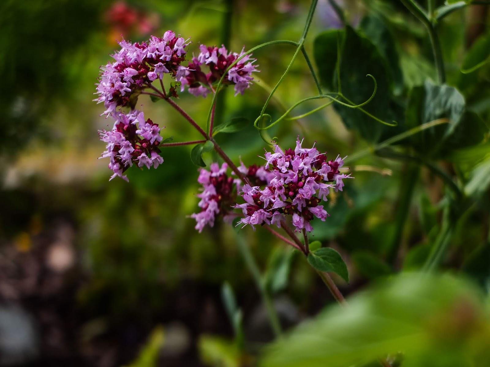 Marjoram flowers and pea tendrils.