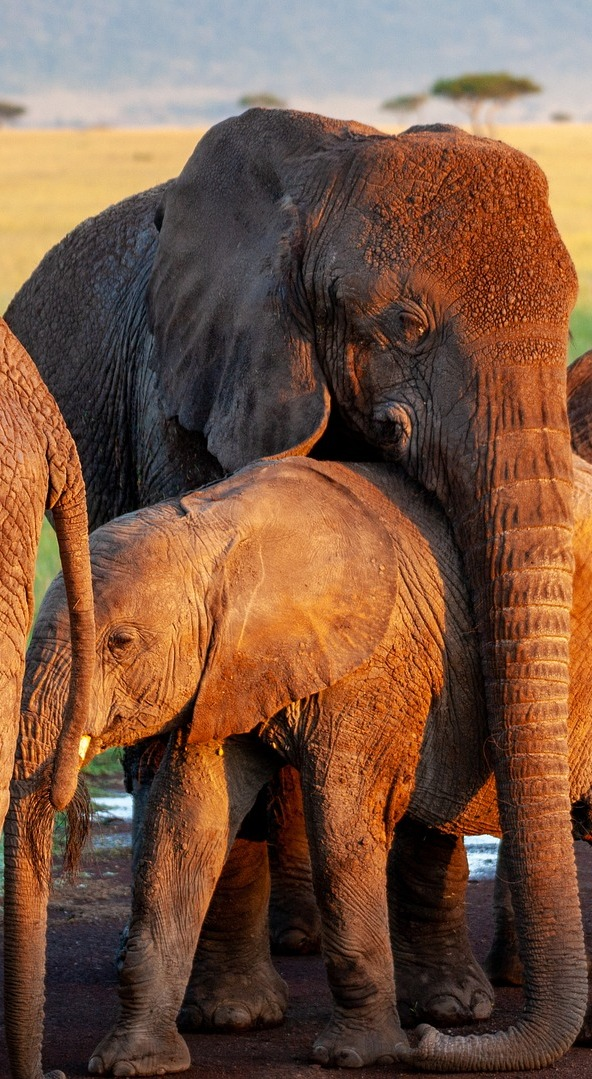Elephant's motherly love.