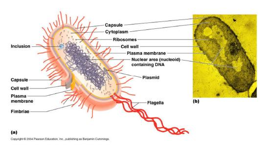 Gambaran umum sel bakteri