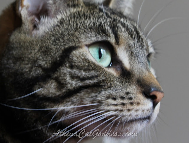 close up Tabby Cat