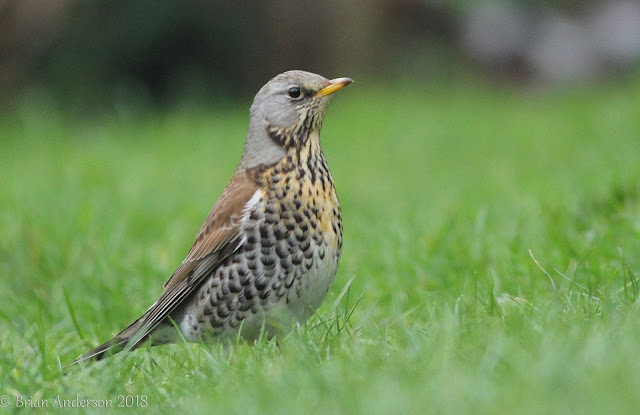 Fieldfare drops in