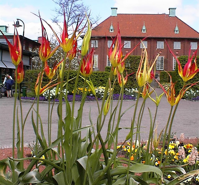 A flower bed with a display of mature tulipa acuminata in full bloom