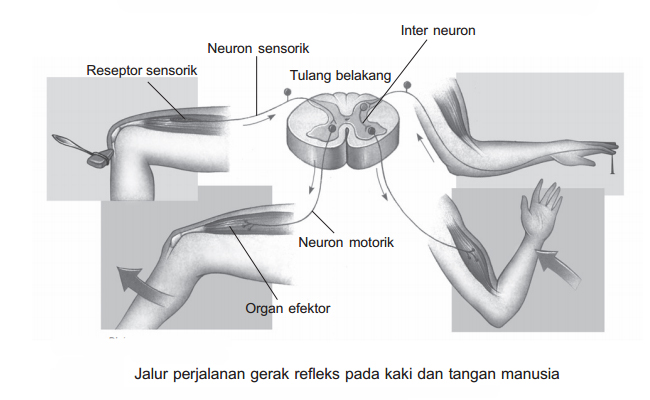 Prisnsip Penghantaran Impuls dan Gerak Refleks