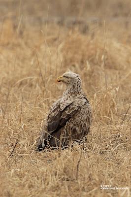 オジロワシ ≪White-tailed Sea Eagle≫