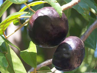 Burdekin plum fruit images wallpaper