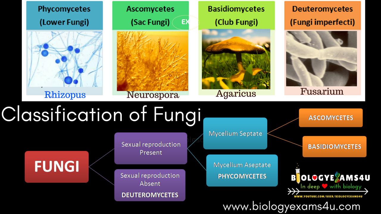 Classification Of Fungi Phycomycetes Ascomycetes Basidiomycetes