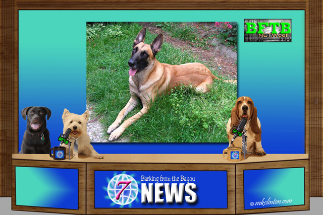BFTB NETWoof News about Malinois dog