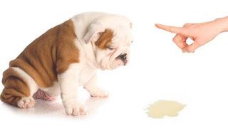 Los perros que no son esterilizado y no están castrados son más propensos a marcar la orina que los perros castrados o esterilizado