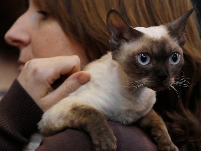 Siamese Cat♥