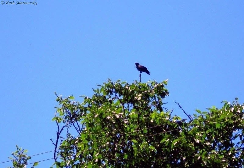 Ворона на верхівці дерева