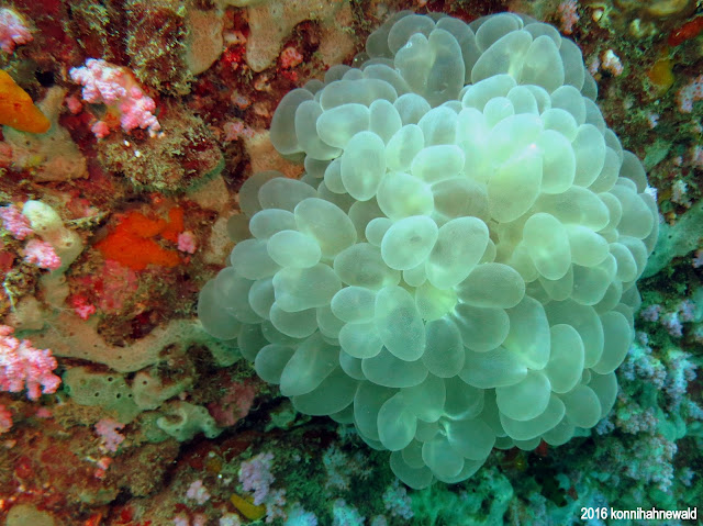 Soft coral, excellent underwater picture, thailand, koh lipe, tropical waters, andaman sea, scuba diving, environmental friendly,