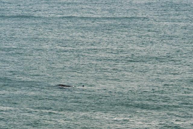 Baleia em Cabo Polônio, no Uruguai.