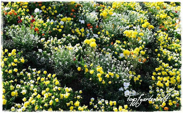 Gartenblog Topfgartenwelt Gartengestaltung: Kurpark Bad Ischl ein Meer von gelben Hornveilchen verkündet den Frühling