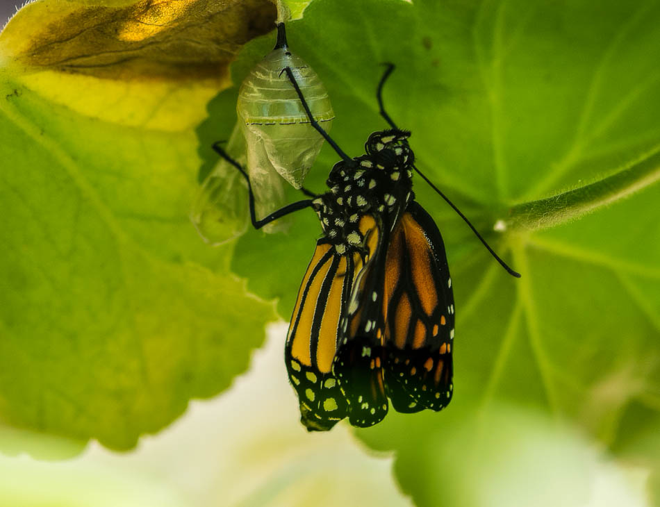 monarch butterfly on chrysalis