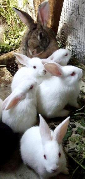 Foto de coneja hembra con sus conejitos