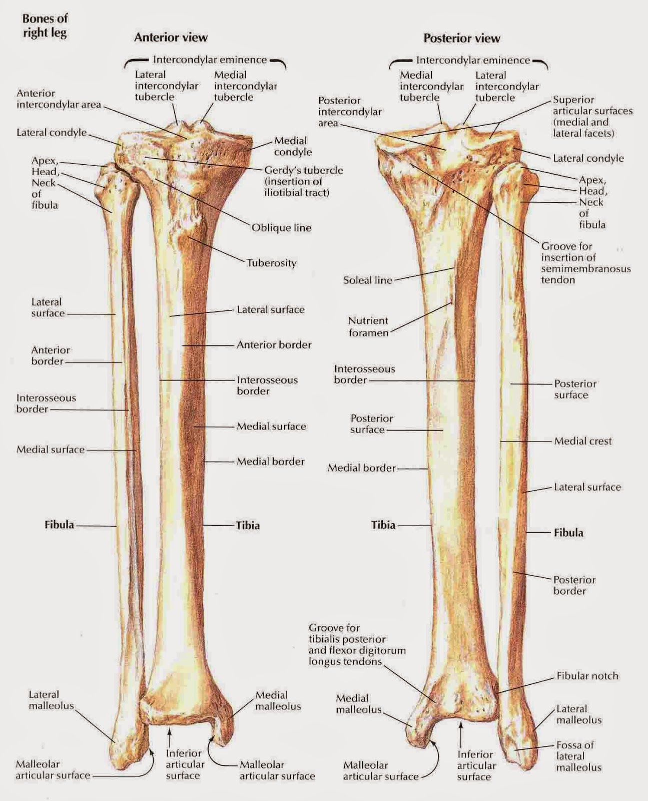 medical freak: THE SKELETON OF THE LOWER LIMB