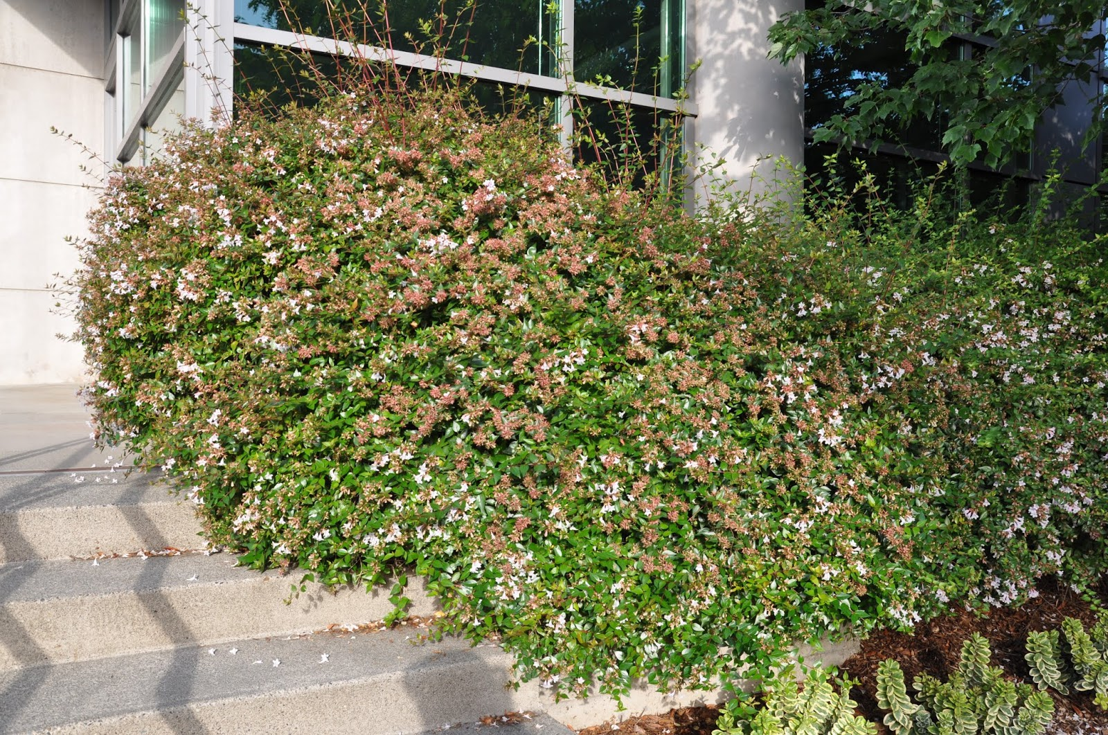 Abelia Edward Goucher Grow And Care Travaldos Blog