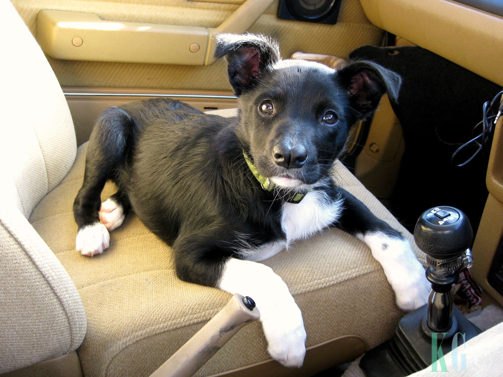 kelpie x smithfied black and white puppy in car cute