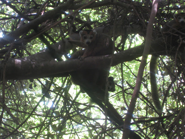 lemur in ankarana national park