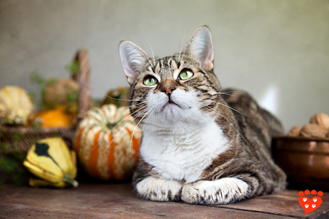 Happy Thanksgiving! Tabby cat with pumpkins and walnuts