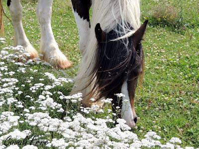 Tête de cheval en train de brouter derrière des fleurs blanches
