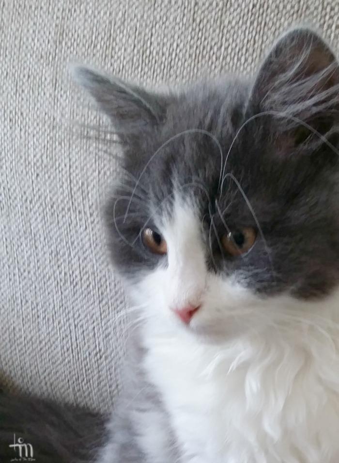 kissanpentu - kitten - cutenessoverload