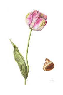 parrot tulip with bulb, botanical print