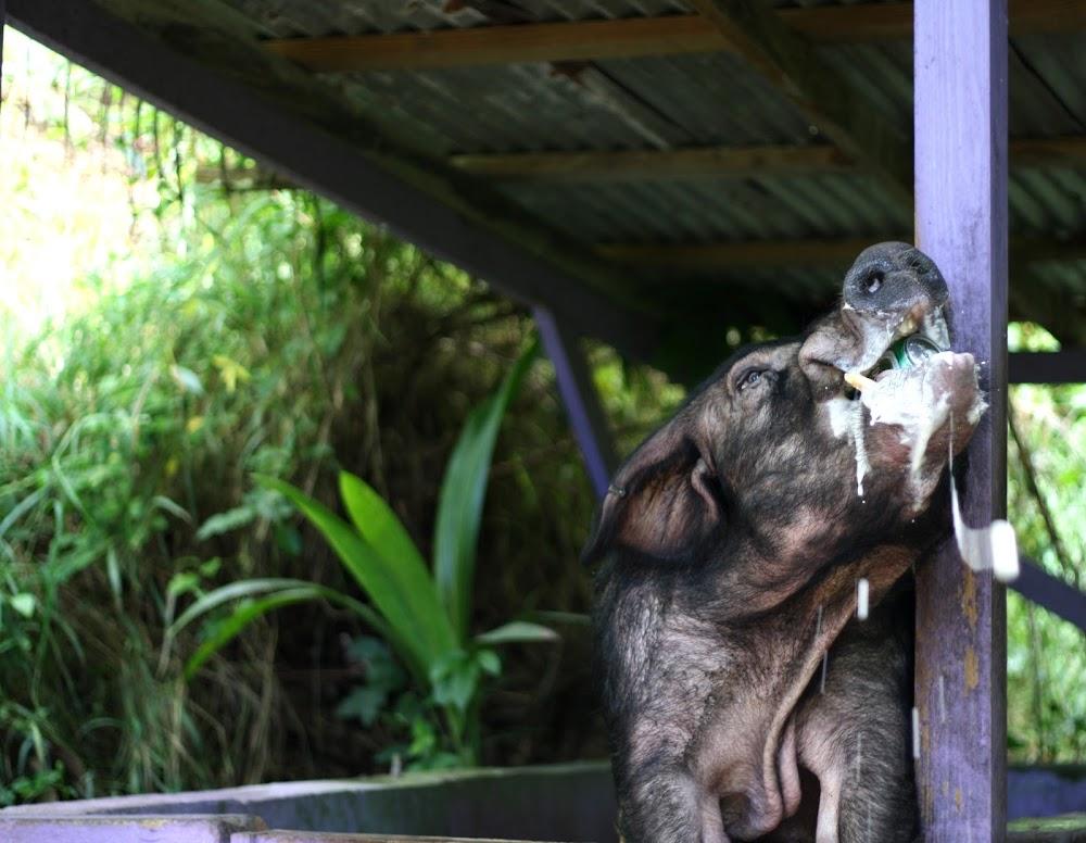 pig drinking beer