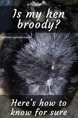 is my hen broody?