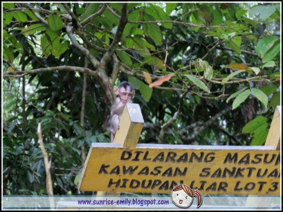 macaque- Kinabatangan river cruising