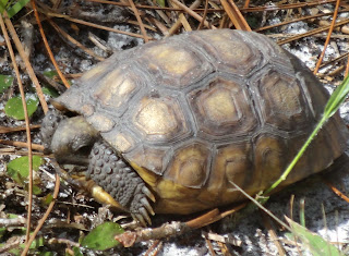 Gopherschildkröten in Dade Battlefield Historic State Park, Florida USA