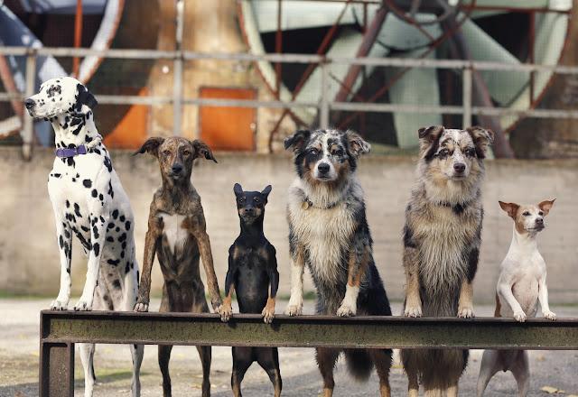 Australian Shepherd, Wildfang, Indianermädchen, Emmely, Hazel, Dalmatiner