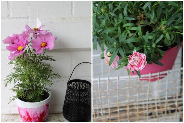 Cosmea Gartennelken Sommerpflanzen 1000 gute Gruende Jules kleines Freudenhaus