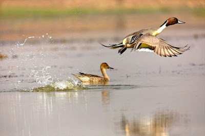 duckky-flying-birdss-images