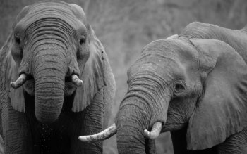 Wallpaper: Elephants in Africa