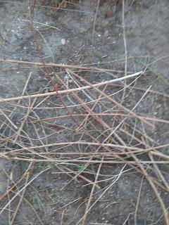 jeżyna bezkolcowa stare suche pędy