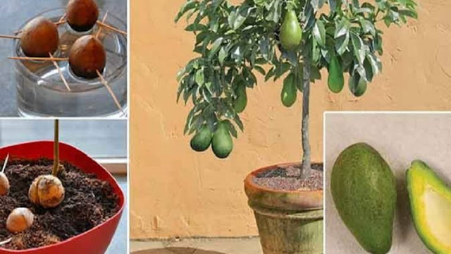 Ya no compres más aguacates. aquí te enseñamos un maravilloso truco para cultivarlos en tu casa