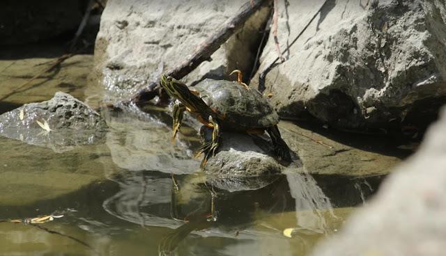 Idegenhonos teknősöket eltávolítanak el a Feneketlen-tóból