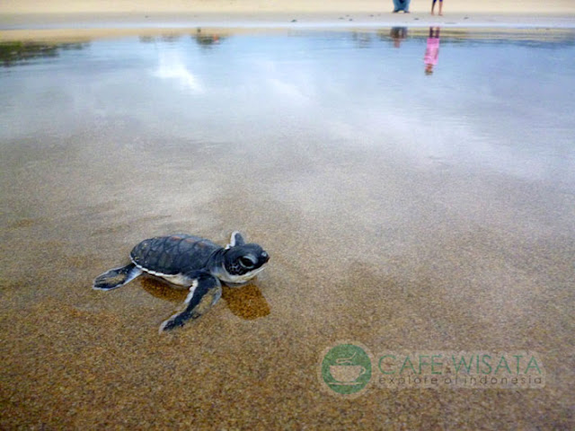 Wisata Pantai Sukamade Menjadi Tenpat Bertelurnya 4 Spesies Penyu