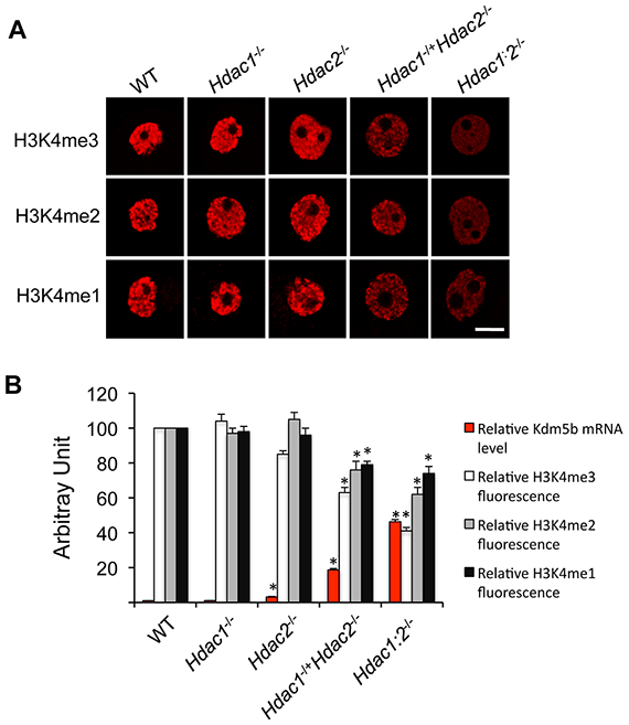 Alzheimers memory loss reversed by blocking HDAC2