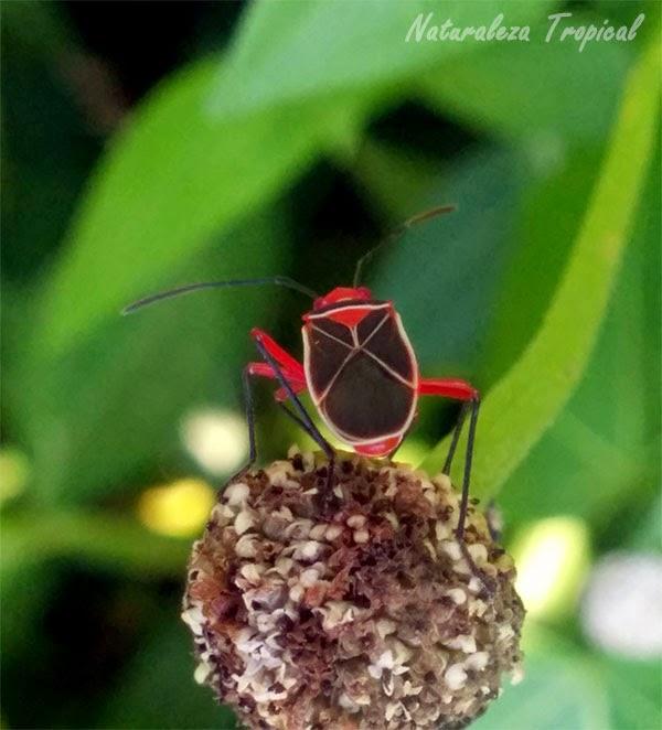 Chinche sobre una planta, representación de insectos en el Río Mayabeque.
