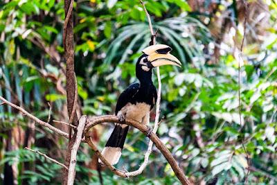 Calao-hornbill-Koh-yao-noi-thailande