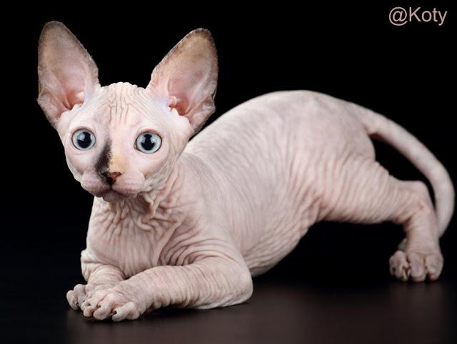 Kucing Tanpa Bulu