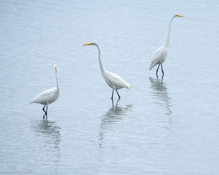 Portland, Maine USA September 2016 photo by Corey Templeton of Three egrets birds striking a pose in the shallows of Back Cove