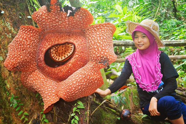 Rafflesia Arnoldii - maior flor do mundo