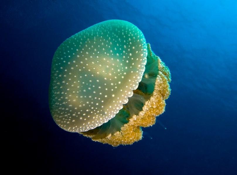 Hewan laut unik Ubur-ubur White spotted Jellyfish atau Phyllorhiza punctata