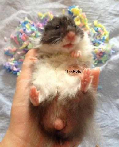 Tinky Hamstery Adoption Buy Hamster In Singapore Teddy