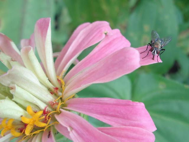 Fly on zinnia