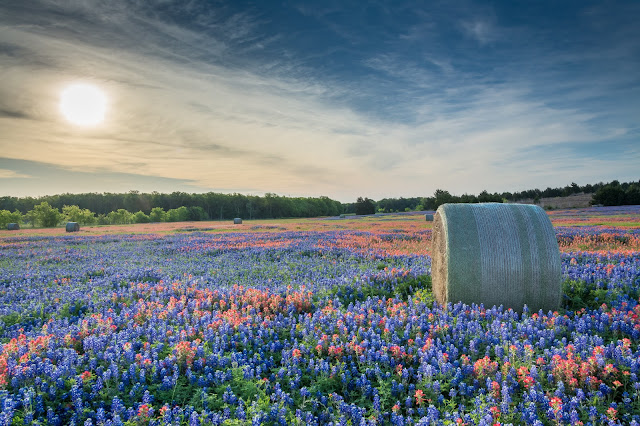 Bluebonnets and Indian Paintbrush, FM 1181