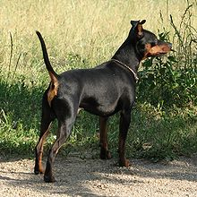 Black Miniature Pinscher dog outdoor